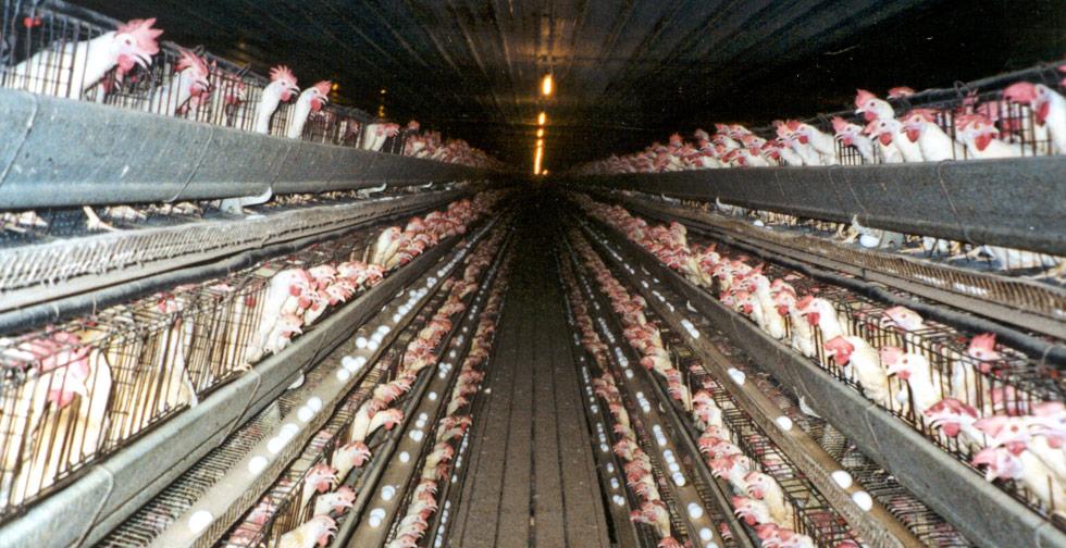 laying-hens-photo-credit-Farm-Sanctuary.